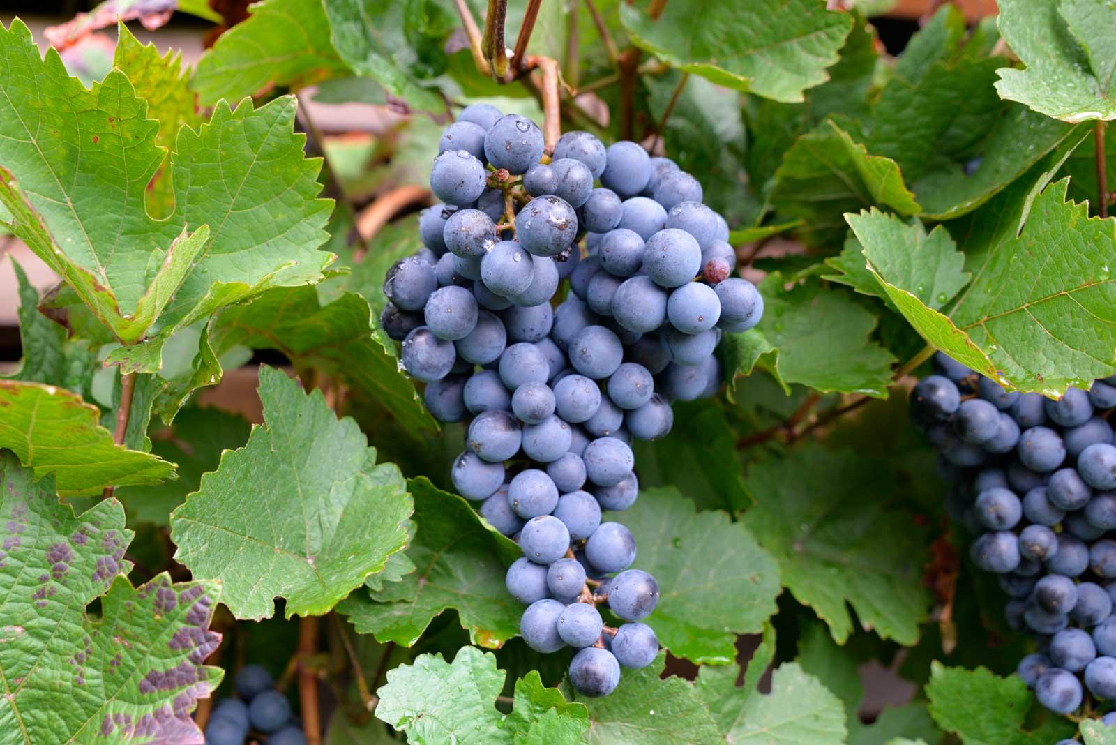Weintraubensaft 1